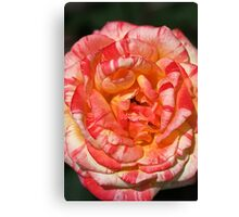 Vibrant Two Toned Rose Canvas Print