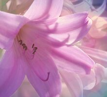 Lily Dream by Jess Meacham