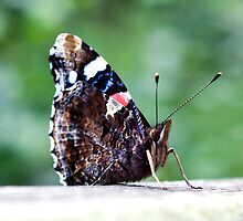 Red Admiral Butterfly by Paul Spear