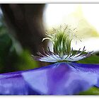 Clematis. Edited in Picasa. by hanslittel