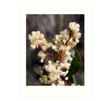 Spring Blossoms # 1 (Lunate-leaved Acacia) Art Print