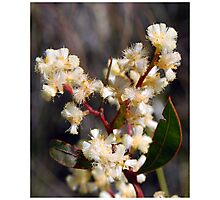 Spring Blossoms # 1 (Lunate-leaved Acacia) Photographic Print