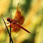 Orange Dragonfly by George Lenz