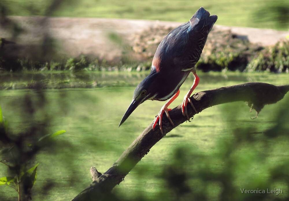 Green Heron on the Hunt by Veronica Schultz