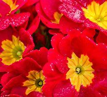 Morning Red by Don Schwartz