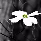 Dogwood Flower by Sharon Woerner