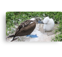 blue footed boobie and chick Canvas Print