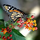 Monarch Butterfly by Lorrie Davis
