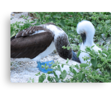 blue footed boobie and chick 2 Canvas Print