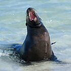 sea lion yawning by Anne Scantlebury