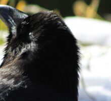 Raven in the Sun Sticker