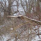 American wood heron by Ray Vaughan