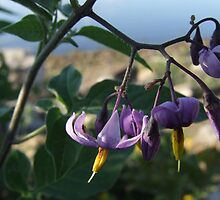 Wildflower Series:  Nightshade by the River Bank (Macro) by Max Buchheit
