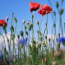 poppy flower no 10 by Falko Follert