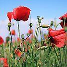 poppy flower no 13 by Falko Follert