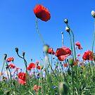 poppy flower no 17 by Falko Follert