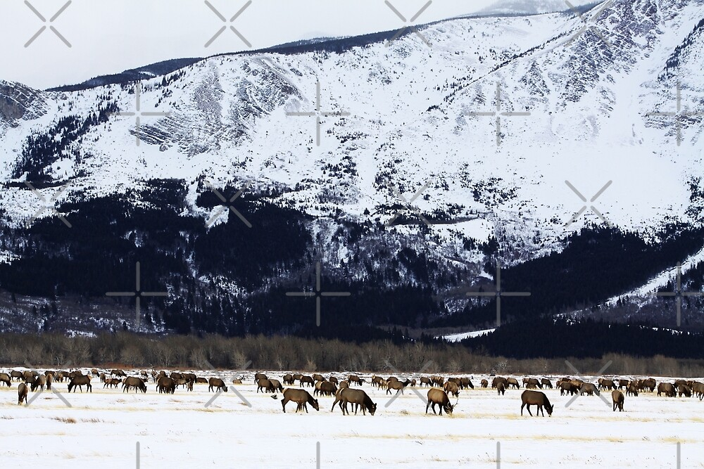 Elk Herd by Alyce Taylor