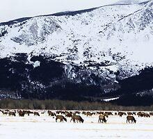 Elk Herd by Alyce Taylor