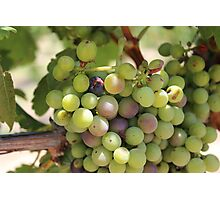 Winery Grapes Photographic Print