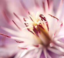Macro Clematis by Maisie Sinclair