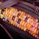 Colorful Indian Corn by Bo Insogna
