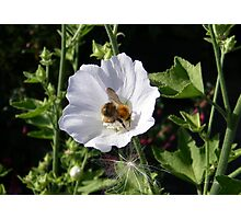 Bee On White Flower Photographic Print