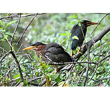 Couple of Green Herons Photographic Print