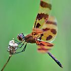 Spotted Dragonfly by savvysisstudio