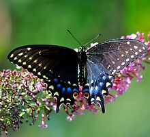 Black Swallowtail by savvysisstudio