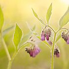 Comfrey bathed in golden light by Rosie Nixon
