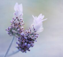 lavender duo by gardenessence
