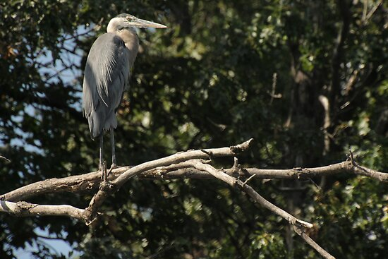 Great Blue Heron on the Wisconsin River by Thomas Murphy