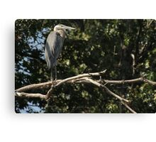 Great Blue Heron on the Wisconsin River Canvas Print