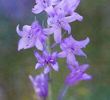 bluebell by gardenessence