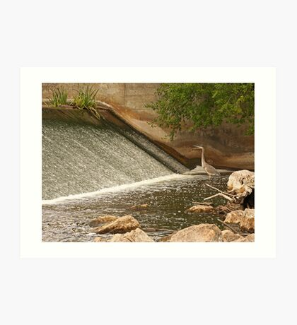 Great Blue Heron Waiting For Fish to Slide Down Art Print