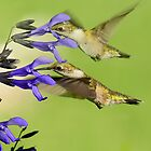DOUBLE HUMMERS by TJ Baccari Photography