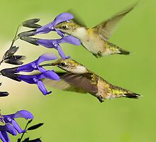 DOUBLE HUMMERS by Photography by TJ Baccari