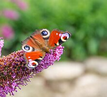 Peacock butterfly by AnnaKirsten