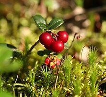 twig cranberries by mrivserg