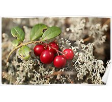 cranberries and gray moss Poster