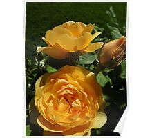 Old-fashion Yellow Roses...... Poster