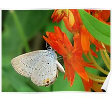 Eastern Tailed Blue on Butterfly Weed Poster