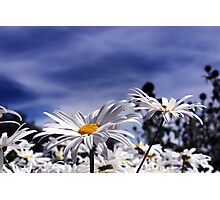 Oxeye daisy's with deep blue sky  Photographic Print