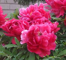 The Gift of Peonies by MarianBendeth