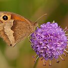 Meadow Brown Butterfly by Jon Lees