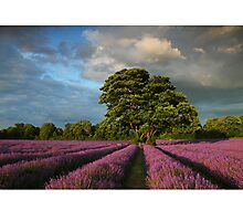 Mayfield Lavender, Banstead, Surrey Photographic Print