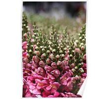 pink erica Poster
