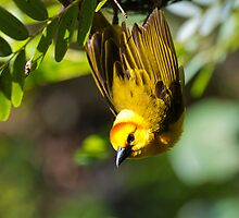 African Golden Weaver by Ray Chiarello