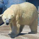 Polar Bears by Jeanette Muhr