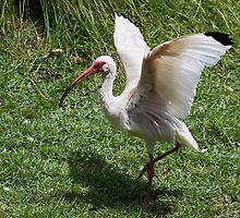White Ibis by Ray Chiarello